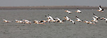 Great white pelicans in Walvis Bay, Namibia, Africa
