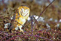 Barn Owl, Washington