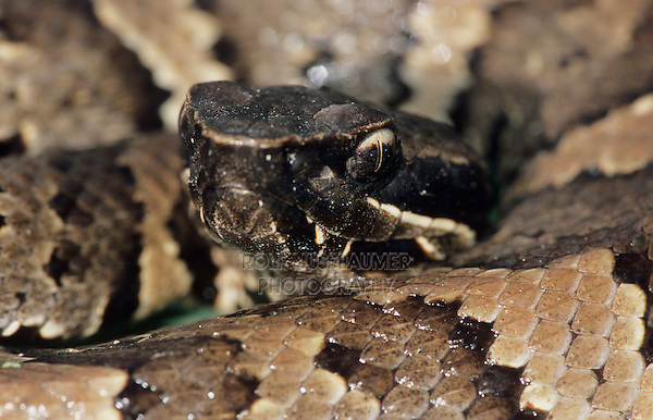 Western Cottonmouth, Agkistrodon piscivorus leucostoma, young, Welder Wildlife Refuge, Sinton, Texas, USA, June 2005