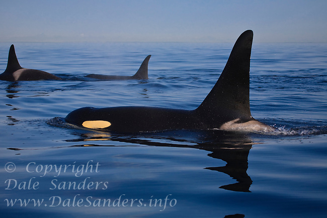 Killer Whales (Orcinus orca ) surfacing off the San Juan Islands in Washington, USA.