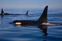 Killer Whales (Orcinus orca ) surfacing off the San Juan Islands in Washington, USA.