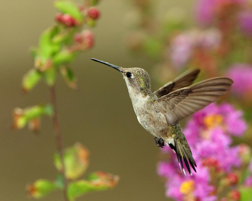 Black-chinned Hummingbird female(Archilochus alexandri)