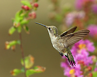 Black-chinned Hummingbird female(Archilochus alexandri)