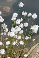 Scheiden-Wollgras, Scheidenwollgras, Moor-Wollgras, Scheidiges Wollgras, Schneiden-Wollgras, Eriophorum vaginatum, hare's-tail cottongrass, tussock cottongrass, sheathed cottonsedge, cotton-grass, cotton-sedge