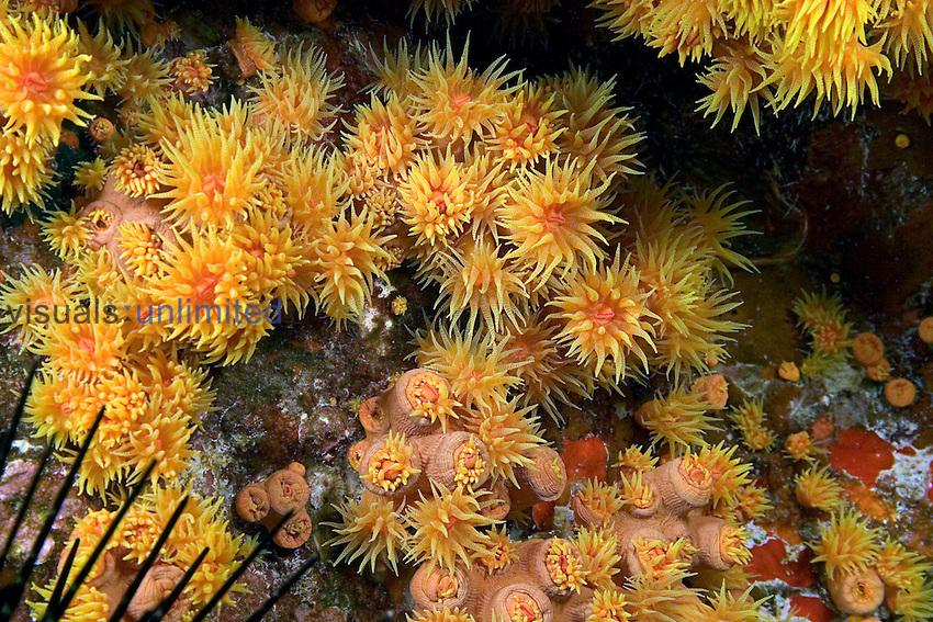 Colonial Cup Corals (Tubastraea coccinea), Hawaii, USA.