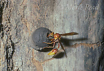 Potter Wasp (Eumenes sp.) female building a mud nest into which she will deposit a single egg, Costa Rica.<br /> Slide # IN4-53