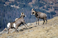 Bighorn Sheep fighting, Rocky Mountain National Park, Colorado