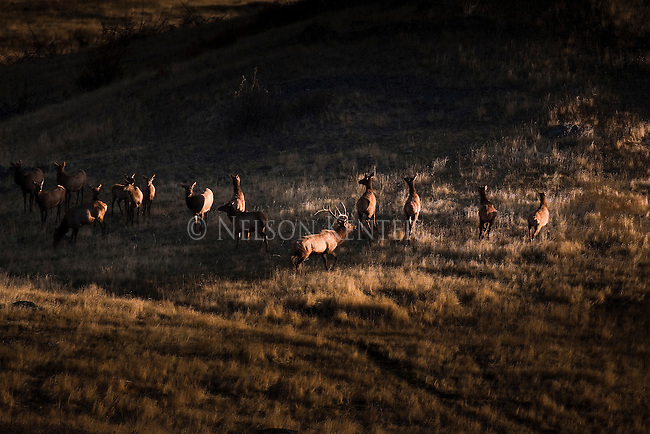 Bull Elk herding his harem of cows in the fall rutting season in Montana