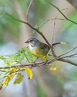 A rare, endemic, and highly endangered Zapata Sparrow (Torreornis inexpectata inexpectata).  La Turba, Cuba