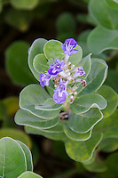 The native Hawaiian plant Pohinahina has bell-shaped flowers with blue violet petals.