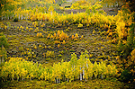 September 2013:  Colorado's Autumn colors amidst the first snowfall of the season in the West Elk Range near Crested Butte, Colorado.