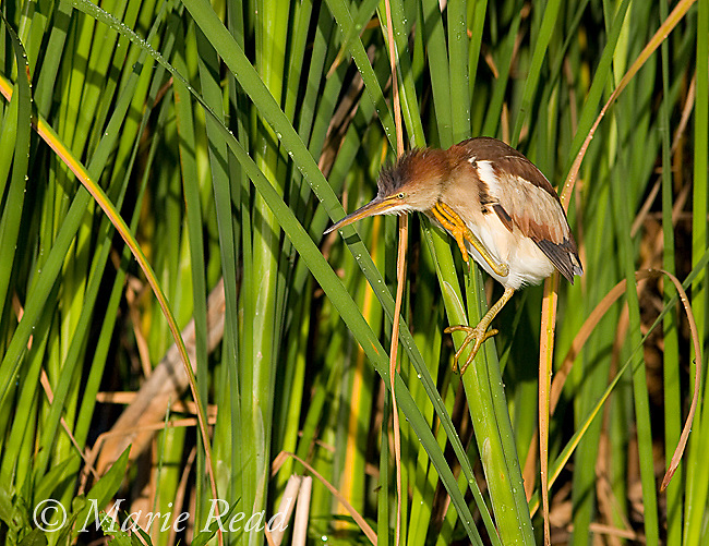 Least Bittern (Ixobrychus exilis), adult female, scratching, Perch River Wildlife Management Area, New York, USA