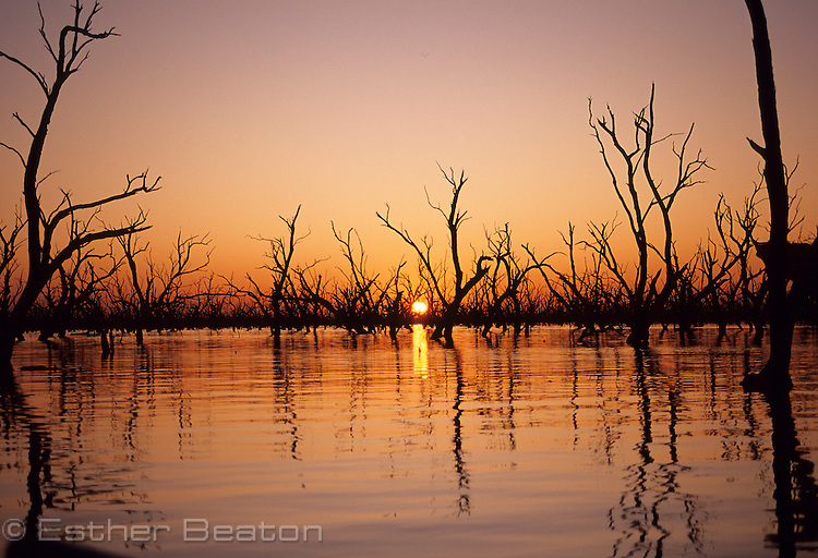 Flooded box trees, Barren Box Swamp, an irrigation dam. At sunrise. Riverina area of western New South Wales