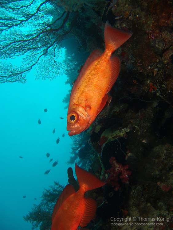 Big Drop-Off, Palau -- Two Crescent-Tail Bigeyes on a reef wall.