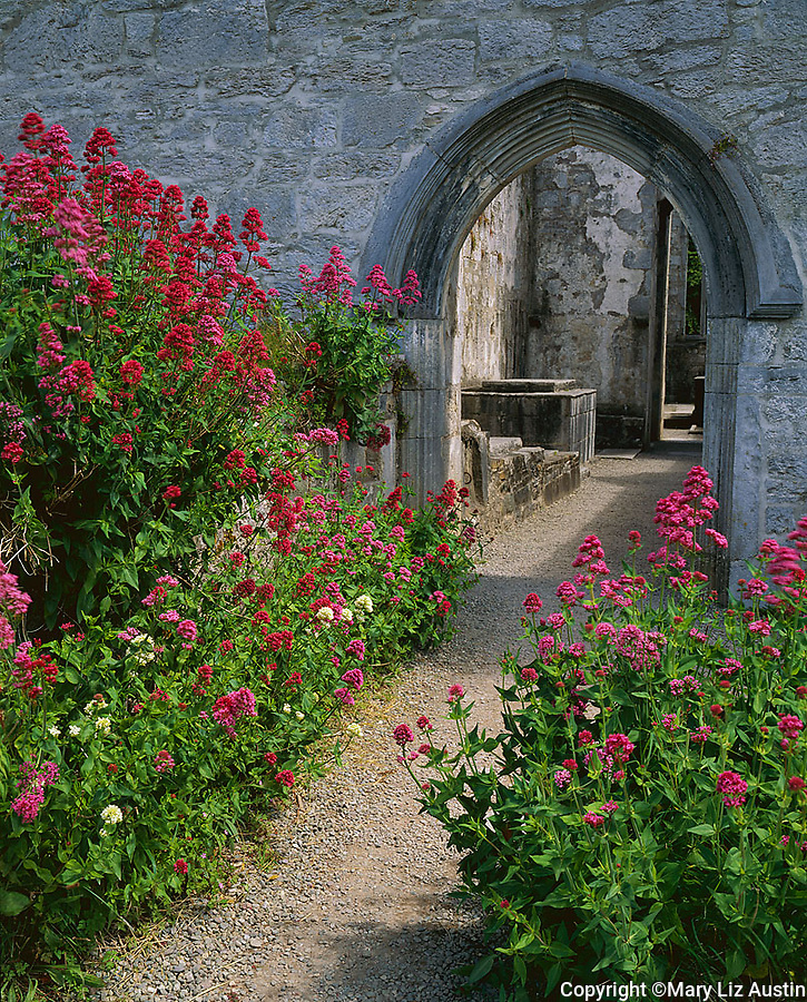 County Kerry, Ireland<br /> Pink and red valerian crowds the pathway to Muckross Abbey founded by the Franciscans in 1448.  Killarney National Park on the Ring of Kerry
