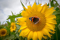 Red Admiral butterfly on a sun flower - Lincolshire, September