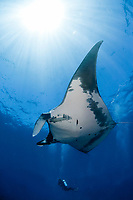 Giant Manta ray, manta birostris and scuba diver in San Benedicto Island Revillagigedo archipelago, Pacific ocean, Mexico