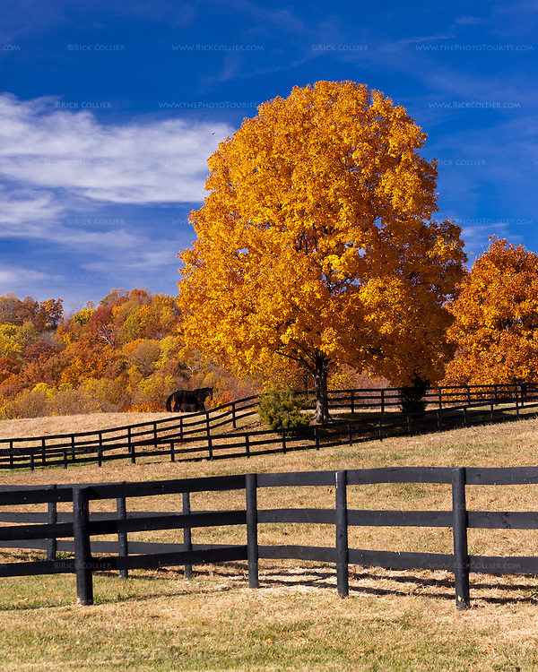 Beautiful golden fall foliage illuminates fences, fields and the woods beyond a horse farm in Delaplane Virginia (across the road from Miracle Valley Vineyard).