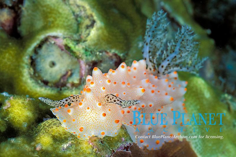 nudibranch or sea slug, Halgerda malesso, Gato Island Marine Reserve, off Cebu Island, Philippines (Visayan Sea / Western Pacific Ocean)