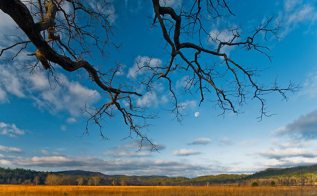 Winter moonset and reaching oak tree, Cades Cove, Great Smoky Mountains National Park, Tennessee / North Carolina