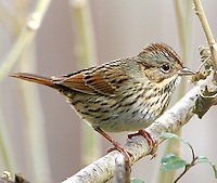 Adult Lincoln's sparrow