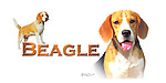 Beagle head study and a full length profile This design is offered on gift merchandise ONLY.<br />