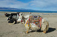"A yak resting at Namtso Lake :Namtso, another holy lake in Tibet, is located near Damxung. 4718 meters (15475 feet) above sea level and covering 1900 square kilometers (735 square miles), the lake is the highest saltwater lake in the world and the second largest saltwater lake in China. The snow capped Mt. Nyainqentanglha, considered as the son of Namtso and leader of sacred mountains, soars up to sky beside her. Singing streams converge into the clean sapphire blue lake, which looks like a huge mirror framed and dotted with flowers..The Namtso Lake is held as ""the heavenly lake"" or ""the holy lake"" in northern Tibet. .Respected as one of the three holiest lakes in Tibet, the Namtso Lake is the seat of Paramasukha Chakrasamvara for Buddhist pilgrims. In the fifth and sixth month of the Tibetan calendar each year, many Buddhists come to the lake pay homage and pray. Deep tracks are worn into the lakeshore due to this activity. In history, monasteries stood like trees in a forest around the site, attracting large numbers of pilgrims as eminent monks in Buddhist temples extended Buddhist teachings...Buddhists believe Buddhas, Bodhisattvas and Vajras will assemble to hold religious meeting at Namtso in the year of sheep on Tibetan calendar. It is said that walking around the lake at the right moment is 100,000 times more efficacious than that in normal years. That's why thousands of pilgrims from every corner of the world come to pray at the site, with the activity reaching a climax on Tibetan April 15...Walking around the lake takes a week. Ritual walkers love to burn aromatic plants to raise smoke on Auspicious Island [explain this a little] and throw a piece of hada scarf into the lake as a token of fulfilled wishes. If the scarf sinks, it implies ones wish is accepted by the Buddha; if the scarf flows on the water or only half sinks, it means one has failed to be honest and something unhappy may lie ahead...On the four sides of the lake stand four monasteries, which"