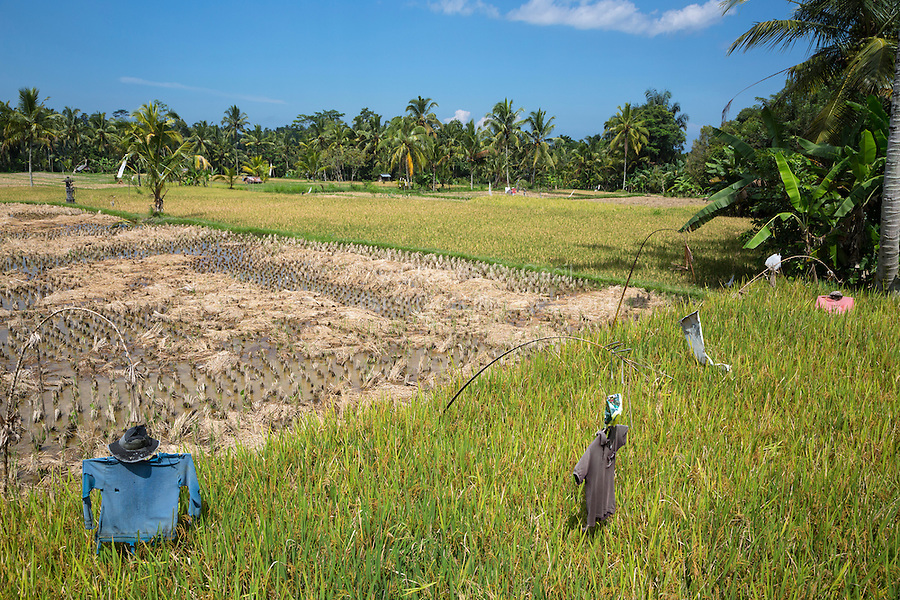 Bali, Indonesia.  Young Rice Plants in Field, Guarded by Scarecrows.