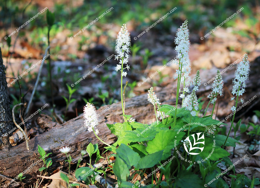 A bunch of Foamflower wildflowers sprouted on the forest floor near small wood log at the great smoky mountain national park in spring - Free nature stock photo.