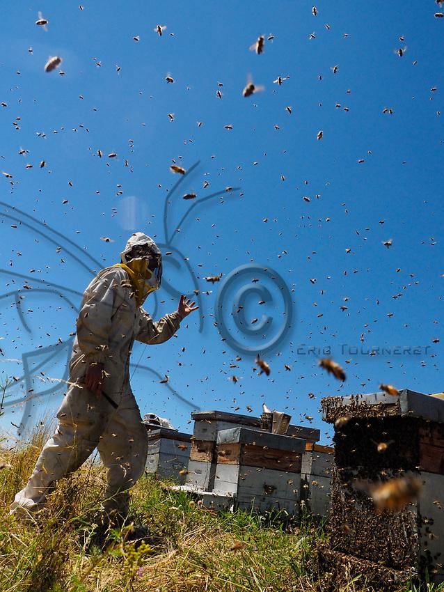 A swarm storms out of a hive at an apiary. The powerless beekeeper can do nothing but watch the departure of half the bees from his hive.<br /> Un essaim sort en trombe d&rsquo;une ruche sur un rucher. L&rsquo;apiculteur impuissant ne peut qu&rsquo;assister au d&eacute;part de la moiti&eacute; des abeilles de sa ruche.