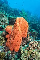 Orange elephant ear sponge, Agelas clathrodes, Bonaire, Netherland Antilles, Netherlands, Caribbean Sea, Atlantic Ocean