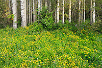 WIldflowers at edge of aspen forest. Waskahegan Recreation Park<br />near Little Smokey<br />Alberta<br />Canada