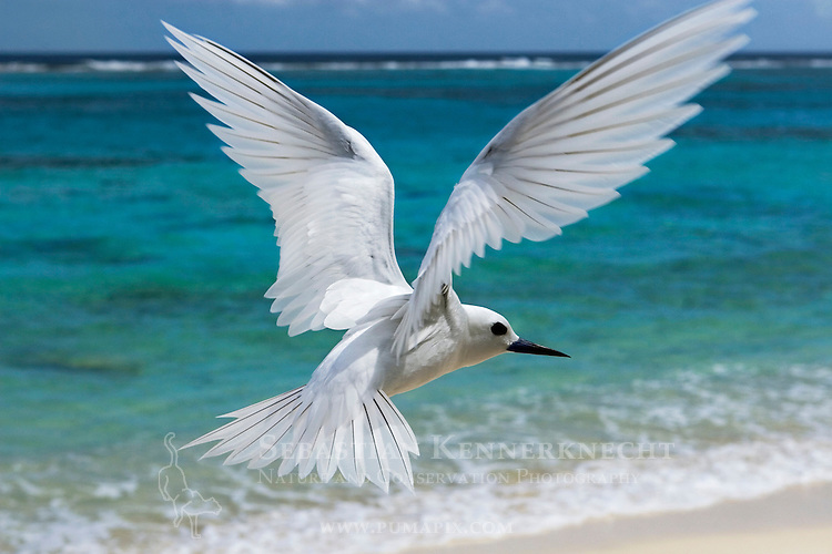 White Tern (Gygis alba) flying over beach, Midway Atoll, Hawaiian Leeward Islands, Hawaii
