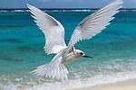White Tern (Gygis alba) flying over beach, Midway Atoll, Hawaiian Leeward Islands, Hawaii