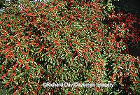 63808-02616 Common Winterberry bushes (Illex verticillata) with berries, Marion Co. IL