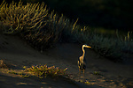 Great Blue Heron (Ardea herodias), Point Reyes National Seashore, California