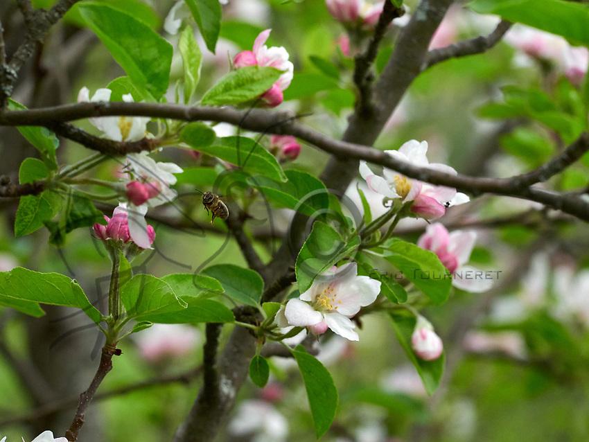 A bee covered in pollen forages an apple blossom.<br /> Une abeille couverte de pollen butine une fleur de pommier.