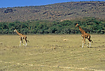 "Pair of Masai Giraffes (giraffa camelopardalis) ""pacing"" on the Serengeti. . . both legs on one side appear to move at the same time giving a rolling motion. Members of Africa's ""Big Five"" and ""Big Nine"" mammals as a measure of Safari sightings."
