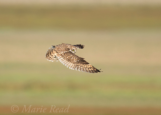 Short-eared Owl (Asio flammeus), adult hovering in search of prey, northern Utah, USA
