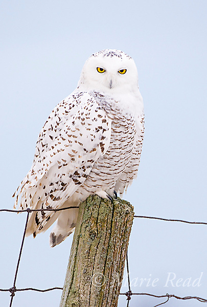 Snowy Owl (Nyctea scandiaca), Amherst Island, Ontario, Canada,