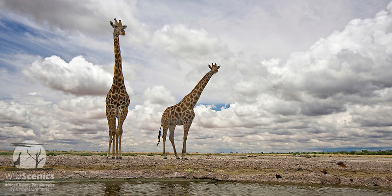 Giraffes at waterhole in kalahari landscape