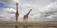 Giraffes at waterhole in kalahari landscape