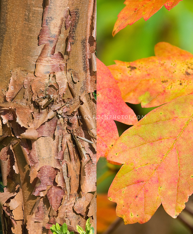 Acer griseum in two stages, fall autumn foliage leaves and attractive winter tree trunk bark, composite picture