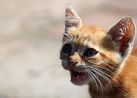 Stock image of a cute golden brown angry looking kitten.