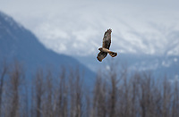 Northern Harrier (Circus hudsonius) in Southcentral Alaska. Photo by James R. Evans