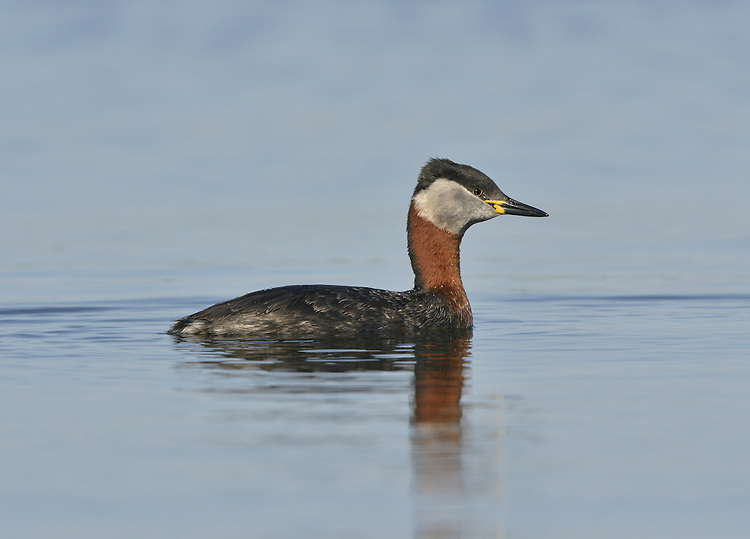 Red-necked Grebe - Podiceps grisegena - Summer adult. L 40-45cm. Smaller and more stocky than Great Crested, with striking summer plumage. Note diagnostic yellow-based bill. White wing panels seen in flight. Sexes are similar. Adult in summer has red neck and upper breast; head has white-bordered pale grey cheeks and black cap. Upperparts otherwise grey-brown and underparts whitish with grey streaks on flanks. In winter, loses neck colours but often retains hint of reddish collar. Cheek pattern is less well defined and ear coverts are grubby. Juvenile is similar to winter adult with more extensive red on neck. Voice Mostly silent. Status Scarce winter visitor to sheltered inshore seas and estuaries; occasional on inland lakes and reservoirs.