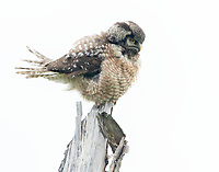A male Northern Hawk Owl fluffs out his feathers.