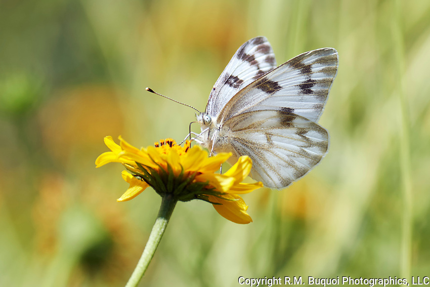 Checkered White