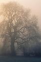 Sun rising behind Ash tree {Fraxinus excelsior} in dense fog. Bonsall, Peak District National Park, Derbyshire, UK. March.