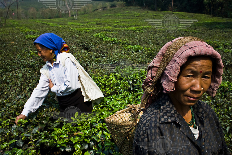 49 year old tea picker, Pushpa Chettri (right), works picking first flush tea leaves at the Makaibari Tea Estate in Kurseong, Darjeeling. Often the first flush of growth after winter is more subtle and delicate in flavour. Since the first flush is the first tea of the year and produced in very small quantities, the tea tends to be quite expensive and sought after.